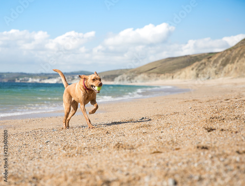 Slika na platnu A yellow Labrador retriever dog running happily along a sandy beach on a beautiful summer day and fetching a tennis ball back to its owner with copy space