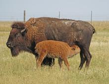 Bison Calf Nuring At Badlands National Park, South Dakota, USA