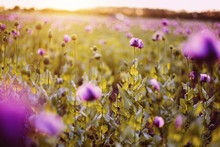 Close-up Of Purple Poppies Gro...