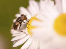 Close Up Of Insect Pollinating...