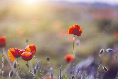 Close-up of poppies blooming during sunset