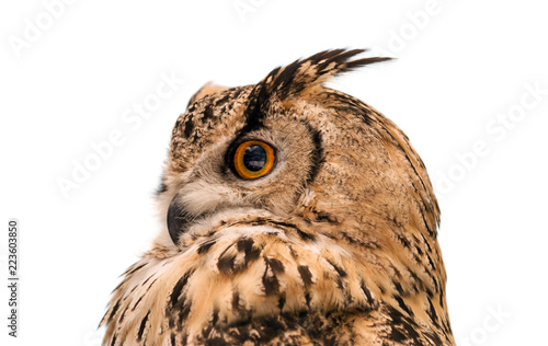 Head of adult Eurasian eagle owl, isolated on white background. The horned owl. Side view.