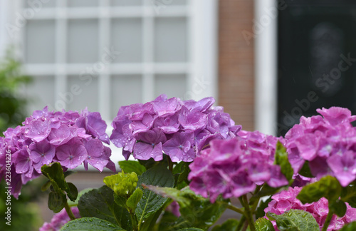 The flowers of purple hydrangea after rain