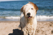 Portrait Of Wet Hairy Dog Standing On Shore At Beach During Sunny Day