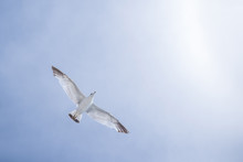 Low Angle View Of Seagull With Spread Wings Flying Against Sky During Sunny Day