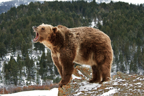 Angry Grizzly Bear on Rocks Tablou Canvas