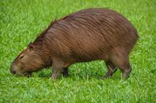 Capybara In The Botanical Gard...