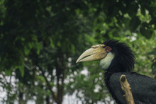 Close-up Of Black Hornbill In Forest