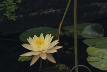 High Angle View Of Yellow Lotus Water Lily Growing In Pond