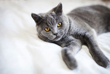 Portrait Of British Shorthair Cat Lying On Bed At Home