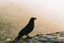 Close-up Of Raven Perching On Rock Against Cityscape During Sunset
