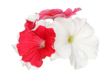 Pink And Red Petunia Isolate On White