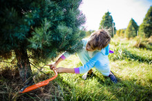 Girl Cutting Pine Tree With Ha...