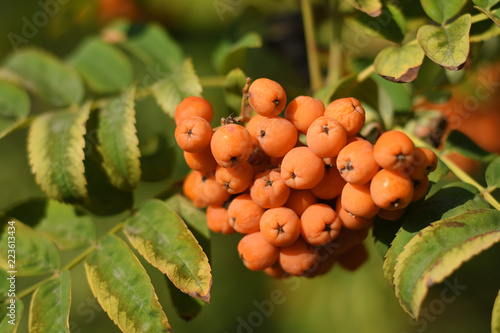 Fotografie, Obraz  Fruits of rowan on tree close-up