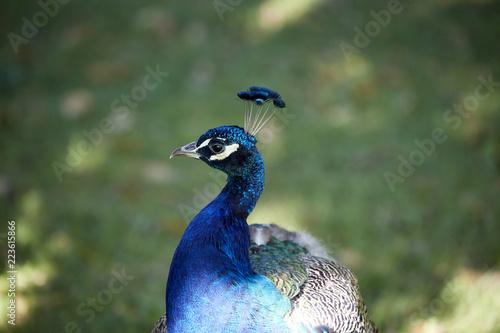 Foto op Plexiglas Pauw Pfau blau Kopf bunt Gefieder schilernd