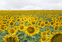 Sunflowers Growing On Field Ag...