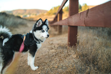 Cute Pomsky On A Walk At Sunset