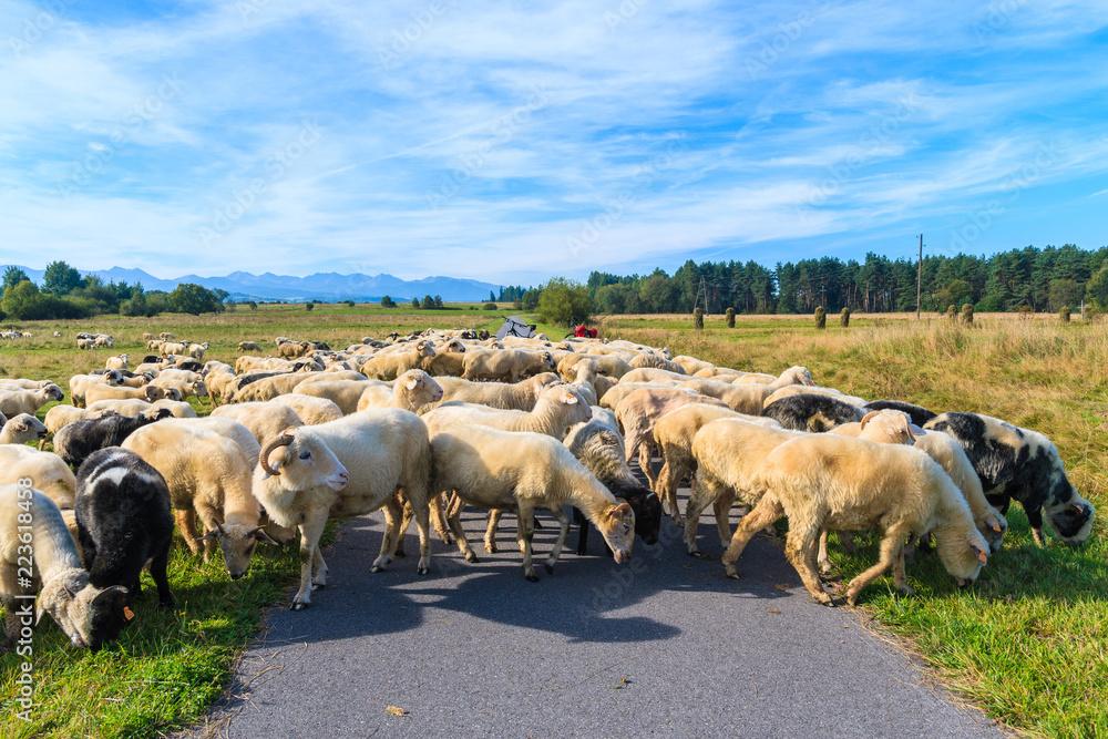 Fototapeta Sheeps grazing on green meadow near cycling track in Czarny Dunajec village, Tatra Mountains, Poland