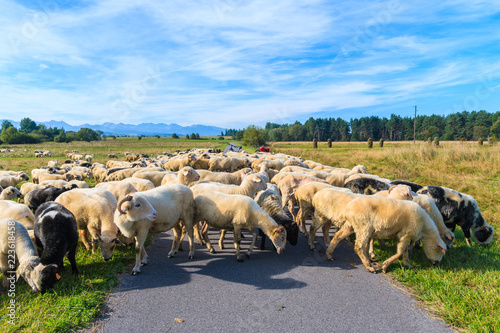 Fototapeta Sheeps grazing on green meadow near cycling track in Czarny Dunajec village, Tatra Mountains, Poland obraz