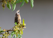 Speckled Mousebird (Colius Striatus) Perched In A Tree At Dawn