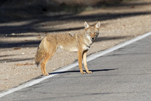 Coyote At The California Mount...
