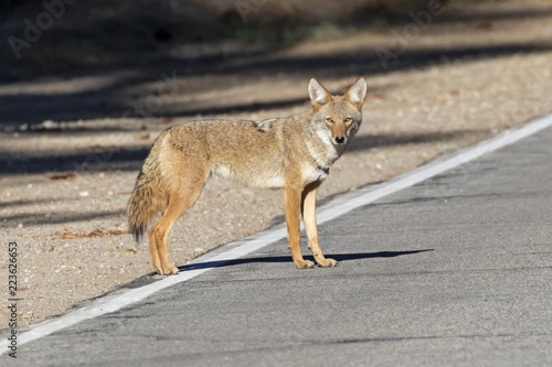 Canvas Coyote at the California mountains