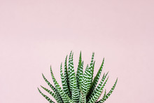 Zebra Print Succulent On Paste...