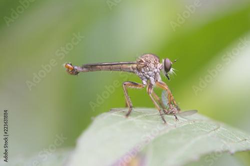 Fotografía  Mosca ladrona comiendo un insecto