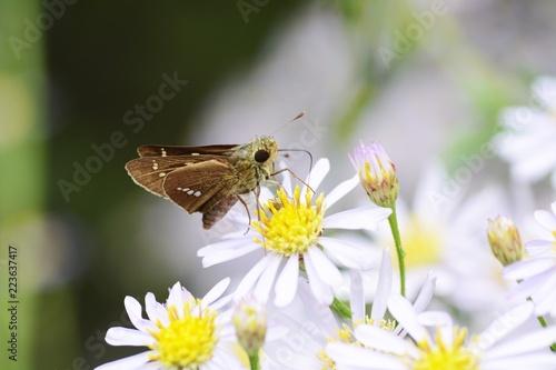 Fotografia, Obraz  Parnara guttata absorbs floral nectar