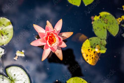 Fotografie, Obraz  Sacred pink lotus bloom in the lake