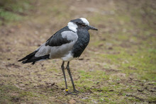 A Blacksmith Plover Standing On Clear Ground. The Portrait Of This Black And White Bird Is Facing Right