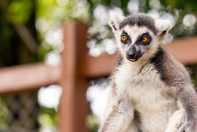 Cute Furry Lemur