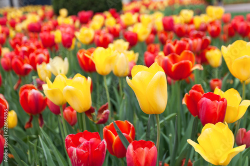 Photo  Tulip Flower BEd
