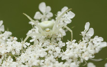 A Pretty Hunting Crab Spider (Misumena Vatia) Camouflaged On A White Flower.