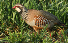 A Stunning Red-legged Partridg...