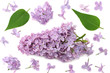 lilac flowers with green leaf isolated on white background. top view