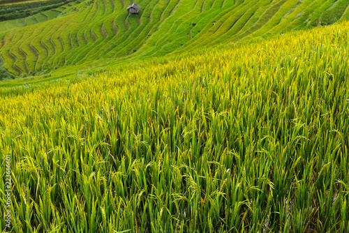 Poster Rijstvelden landscape rice fields on terraced of Mu Cang Chai, YenBai, Vietnam