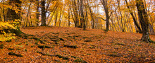 Banner Of Foliage For Background, In Monti Cimini, Lazio, Italy. Autumn Colors In A Beechwood. Beechs With Yellow Leaves.