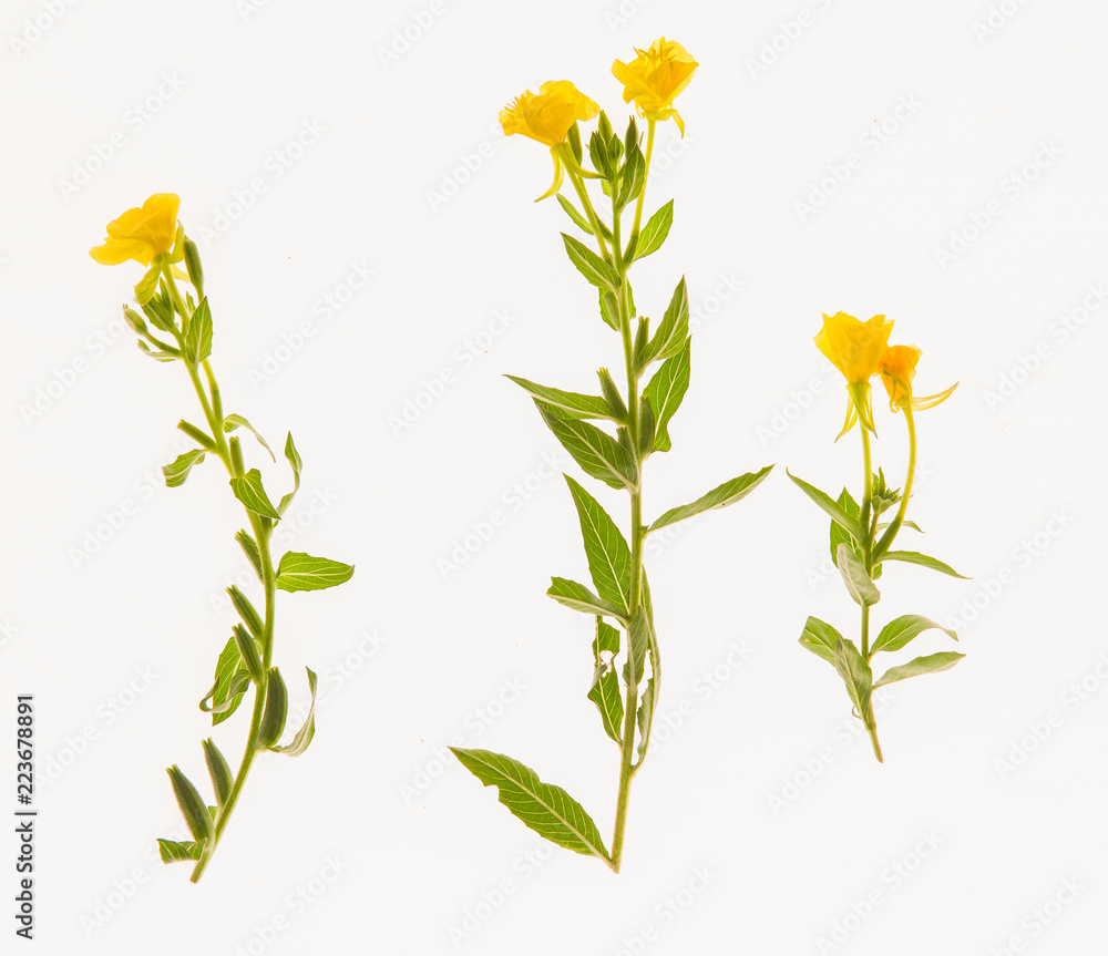 Fototapeta leaves, plants, and grasses on the white background