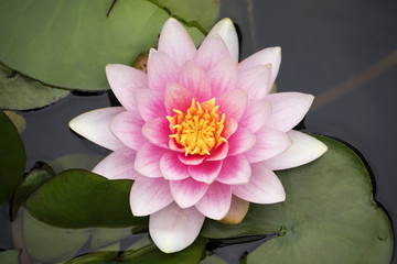 Top view gentle pink water lily