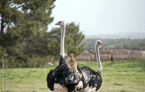 ostrich two