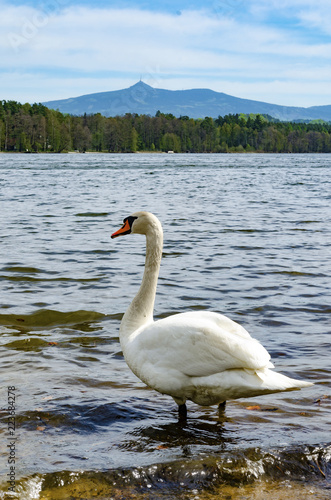 Swan on a beach of Hamer Lake (Hamersky pond) with beautiful view on mount Jested (Liberec region), Northern Bohemia