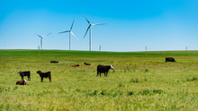 Cattle And Windmills