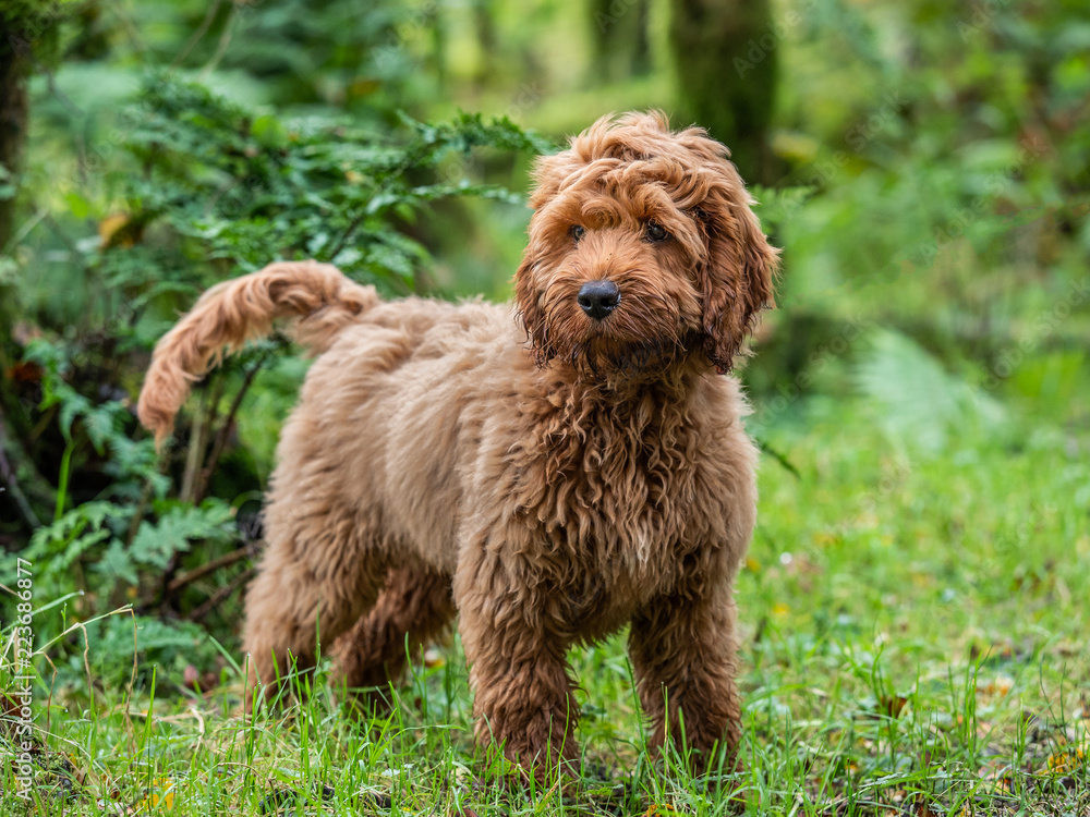 Fototapeta Red Cockapoo puppy