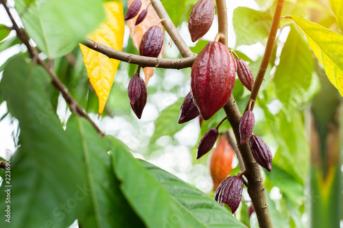 Fotografía Cacao Tree (Theobroma cacao). Organic cocoa fruit pods in nature.