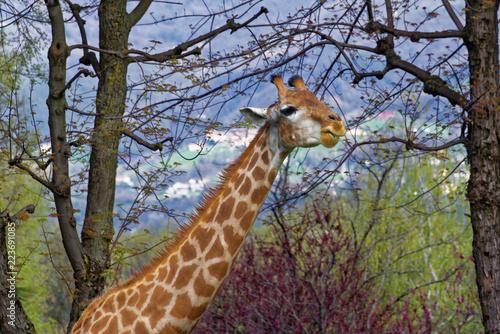 Foto op Aluminium Giraffe Giraffe (Giraffa camelopardalis)