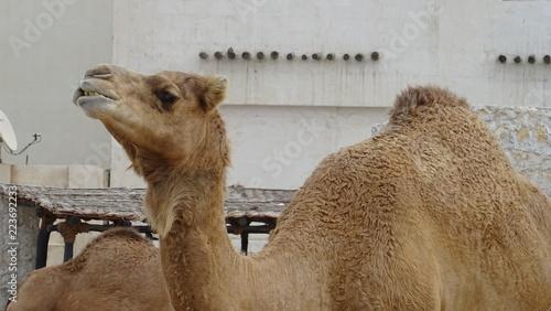 Deurstickers Kameel Lots of camels at souq Waqif