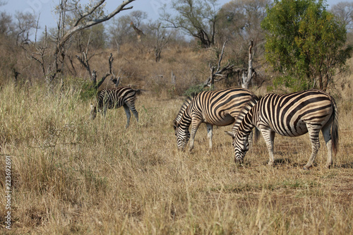In de dag Zebra Zebras im Kruger-Nationalpark in Südafrika