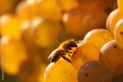 Honey bee feeding on golden grapes