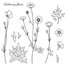 Buttercup Flower Or Crowfoot V...